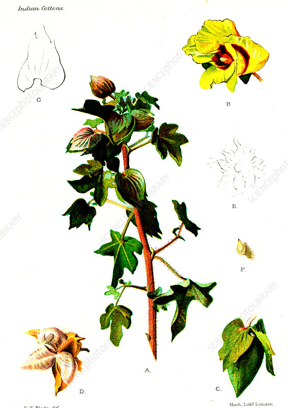 Cotton (Gossypium obtusifolium), 20th Century illustration