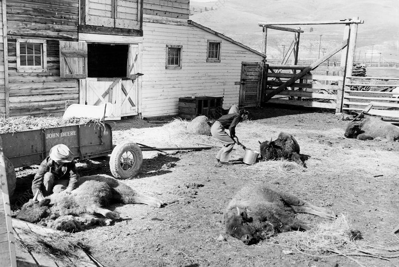 Tick paralysis in bison, 1950s