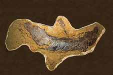 Alligator Gar Fish Fossil