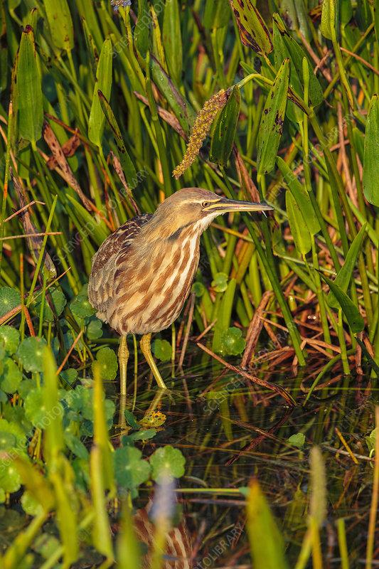 American Bittern in south Florida wetland