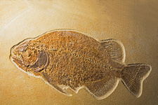 Fossil Fish, Phareodus Encaustus