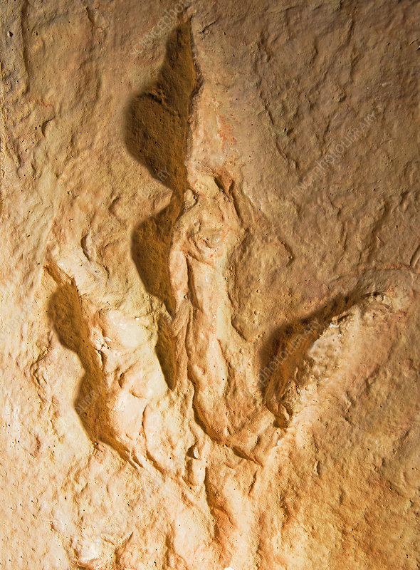 Dinosaur Footprint Fossil