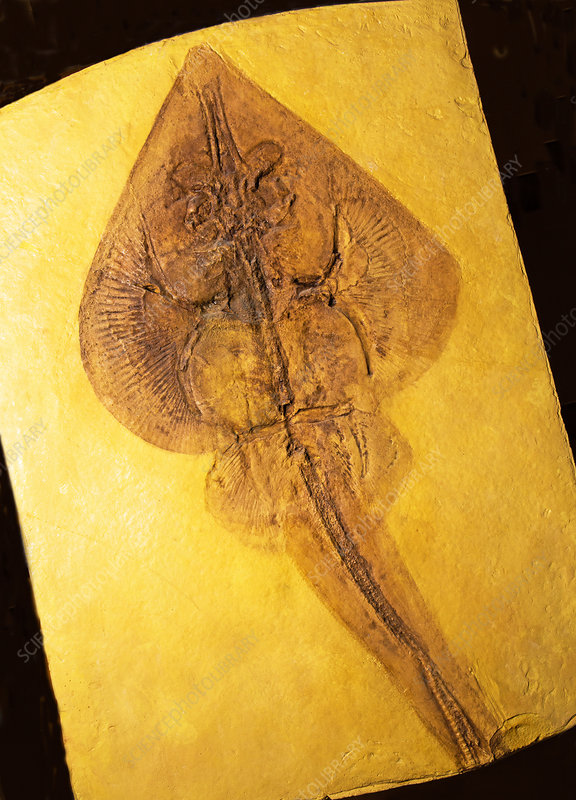 Sting Ray Fossil