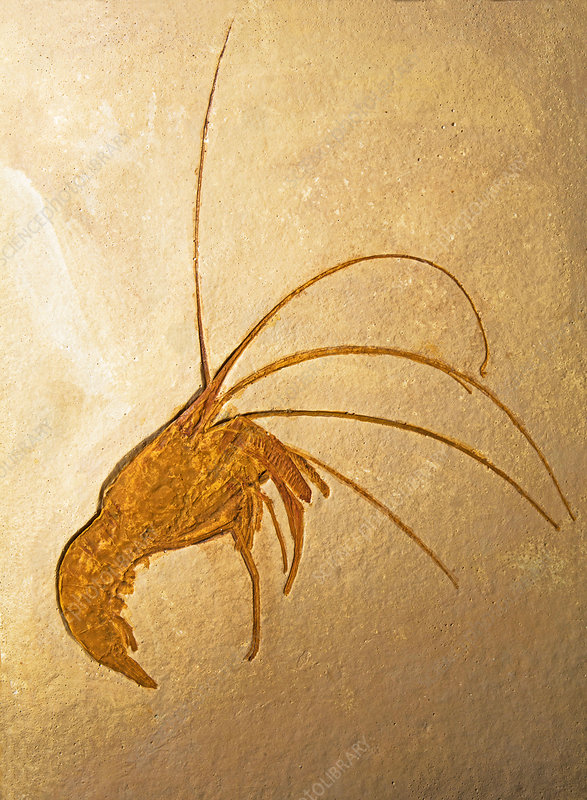 Shrimp Fossil