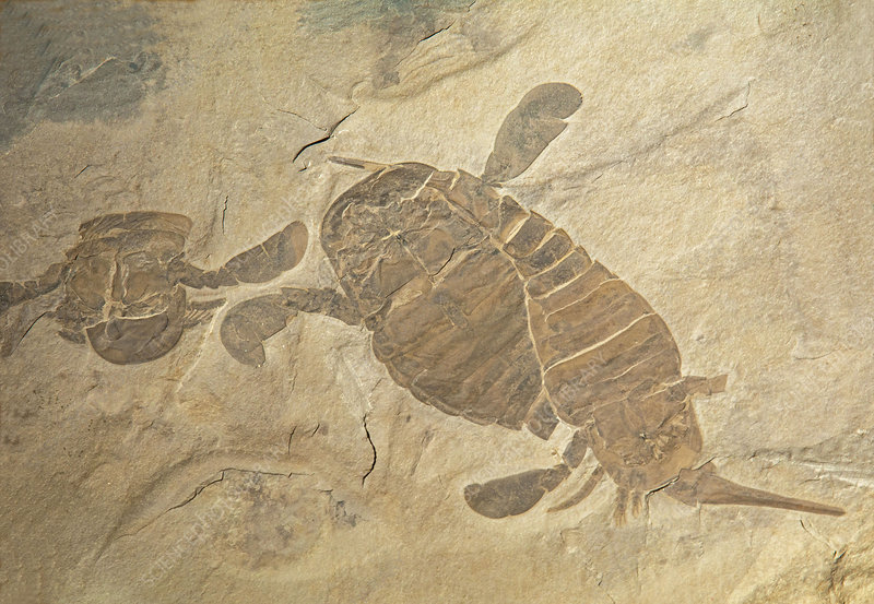 Eurypterus Remipes Fossil