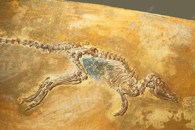 Leptictidium Auderiense Weasel Fossil