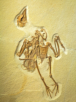 Gallinule Bird Fossil