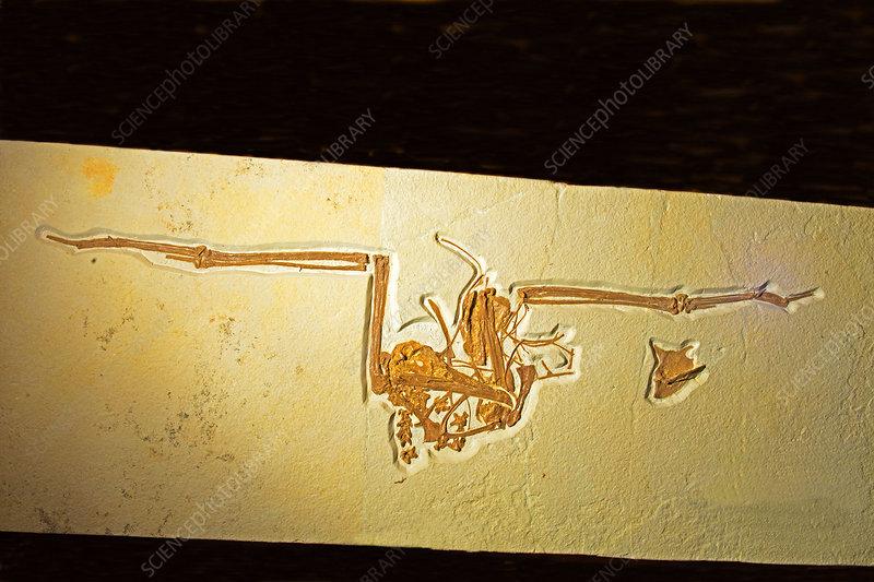 Frigate Bird Fossil