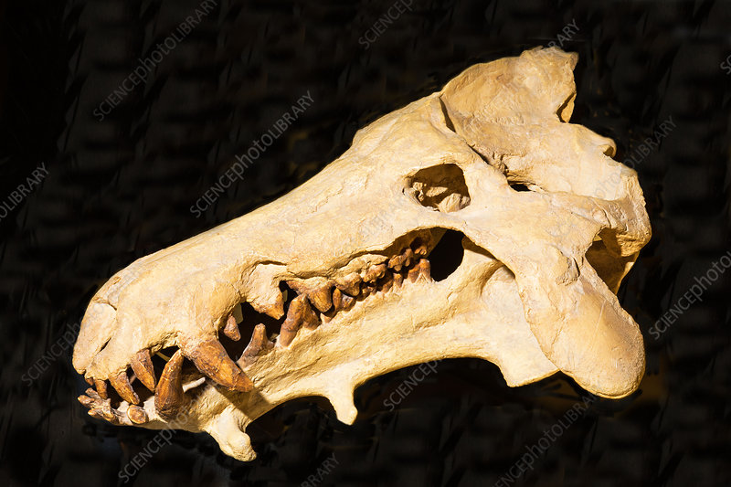 Archaeotherium Skull Fossil
