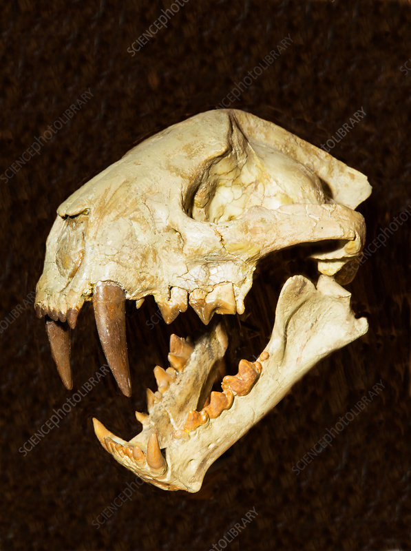 Saber Tooth Cat Skull Fossil