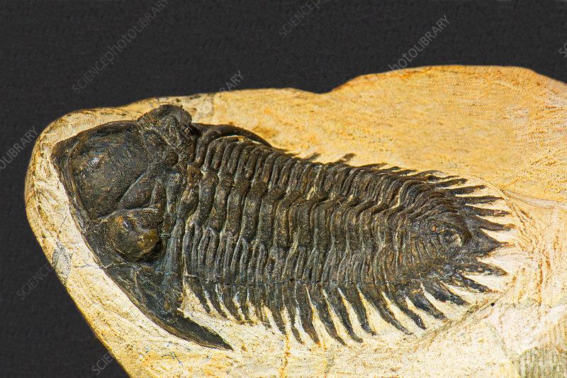 Trilobite Kayserops Fossil
