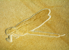 Dragonfly Fossil