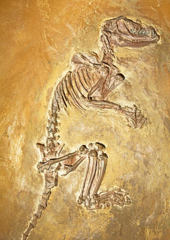 Aumelasia Fossil