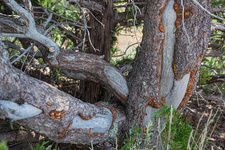 Porcupine damaged tree, New Mexico, USA