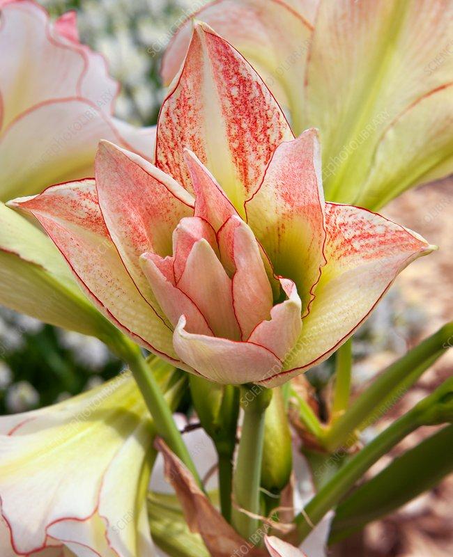 Amaryllis 'Aphrodite' (Hippeastrum sp.)