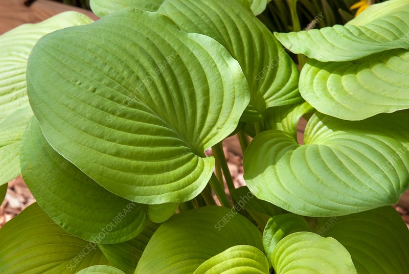 Plantain lily (Hosta 'August Moon')