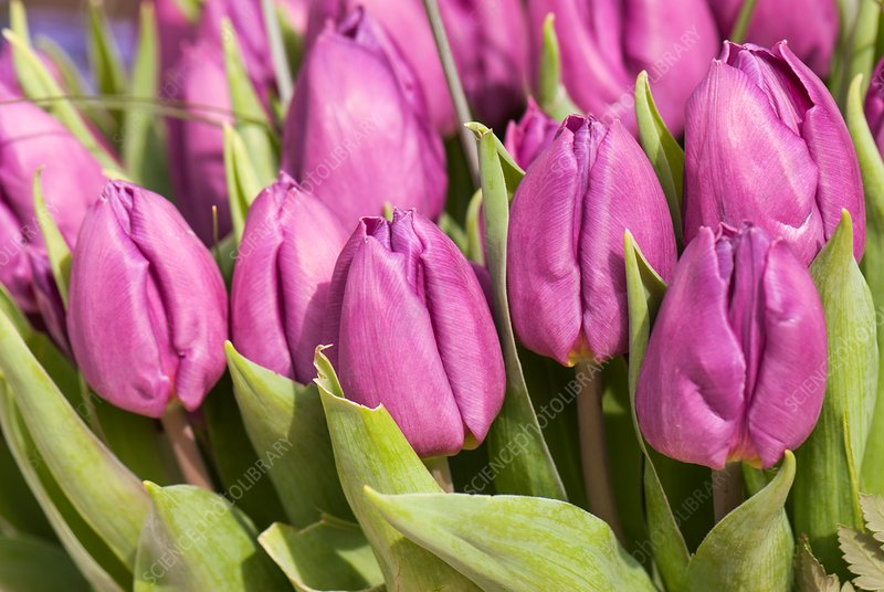 Tulips (Tulipa 'Purple Prince')