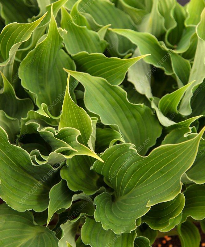 Plantain lily (Hosta 'Restless Sea')