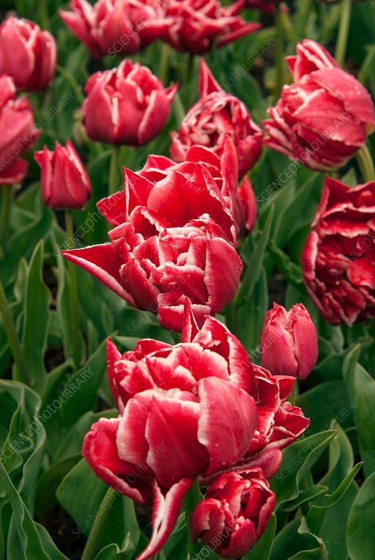 Tulips (Tulipa 'Paul Rubens')