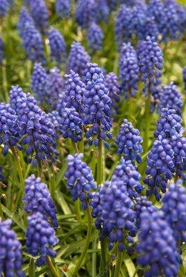 Grape hyacinth (Muscari sp.)
