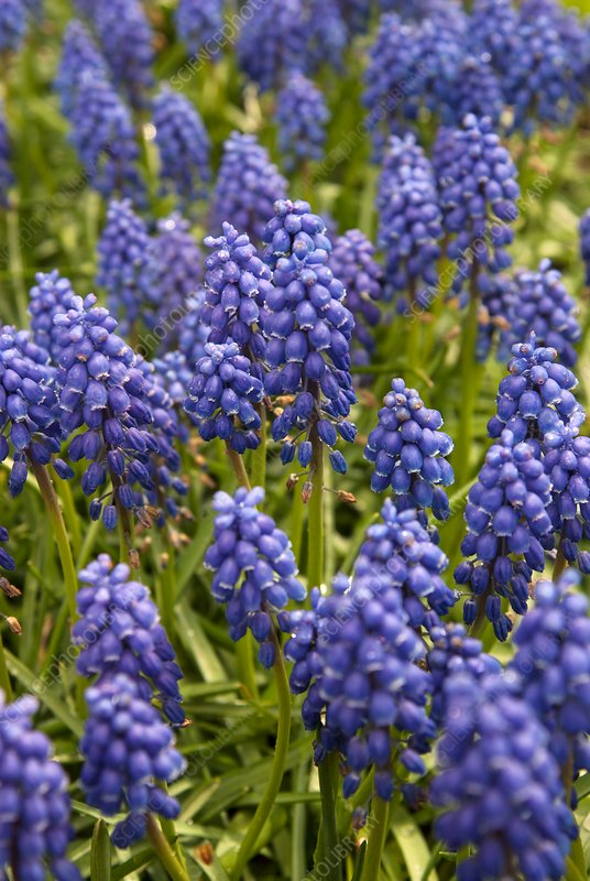 Grape hyacinth (Muscari sp.)