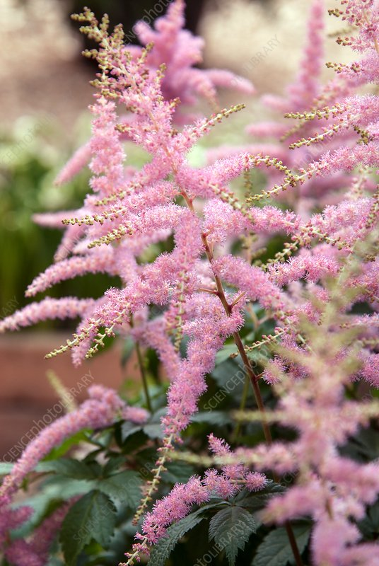 False goat's beard (Astilbe arendsii 'Bressingham Beauty')