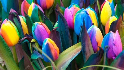 Rainbow tulips (Tulipa sp.), dyed artificially