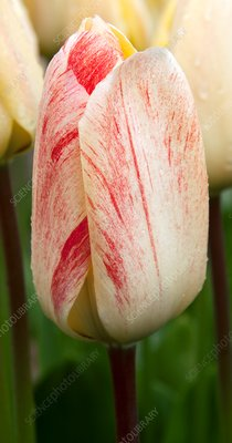 Tulip (Tulipa 'Vanilla Cream')