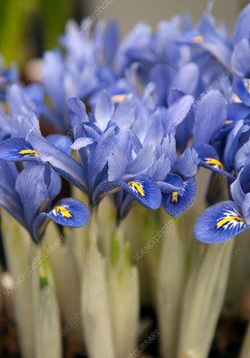 Iris (Iris reticulata 'Alida')