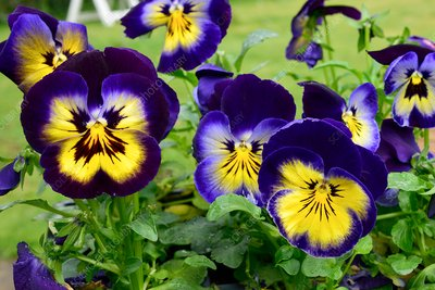Pansies 'Annual Midnight Glow'