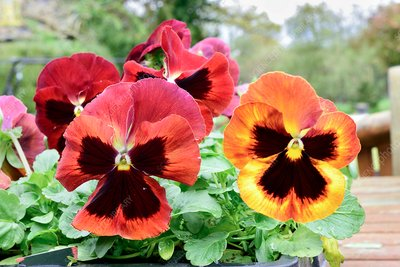 Pansies 'Solar Flare'