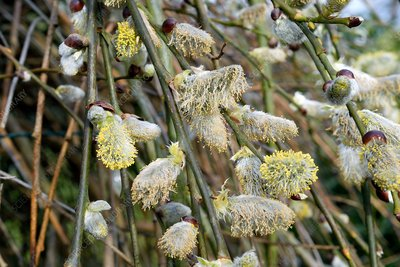 Goat willow catkins