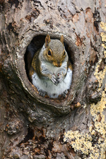 Grey squirrel in a tree
