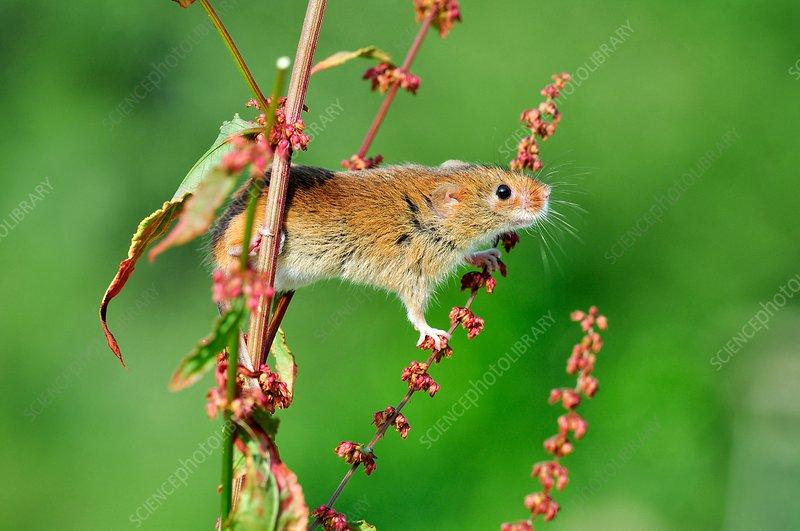 Harvest mouse climbing a plant