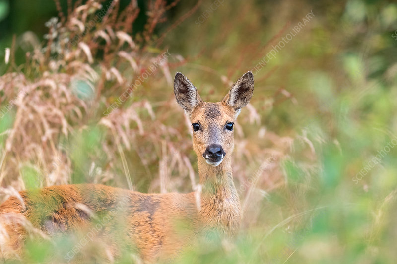 Roe deer in tall grass