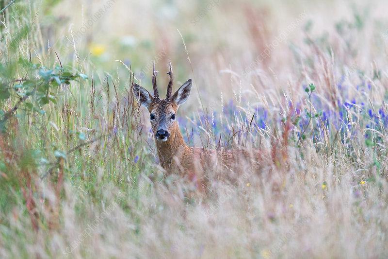 Roe deer in tall grass