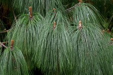 Smooth-bark Mexican pine (Pinus pseudostrobus)