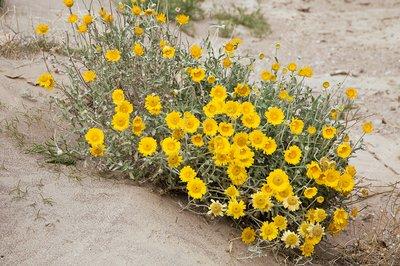 Desert marigold (Baileya multiradiata)