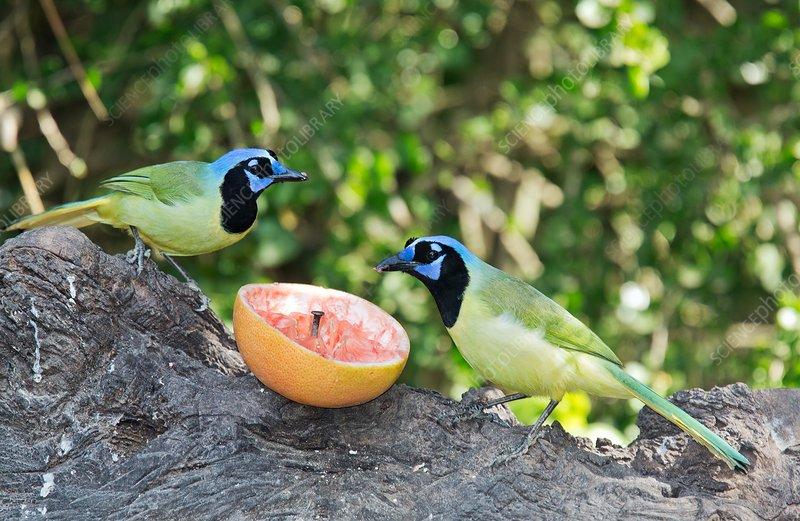 Green jays feeding on grapefruit