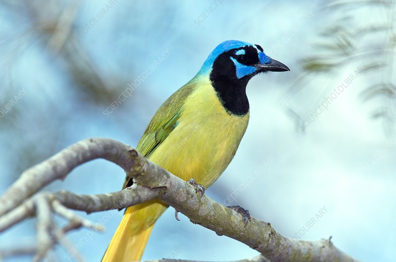 Green jay perched on a branch