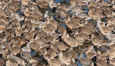 Marbled godwits and willets