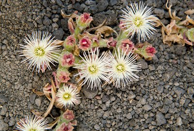 Common ice-plant (Mesembryanthemum crystallinum)