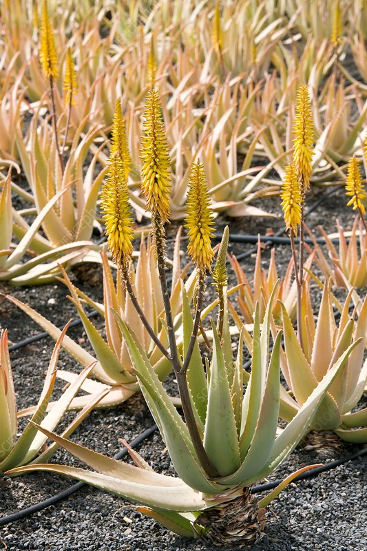 Aloe vera in cultivation, Lanzarote