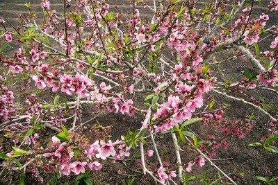 Dwarf peach tree (Prunus persica)