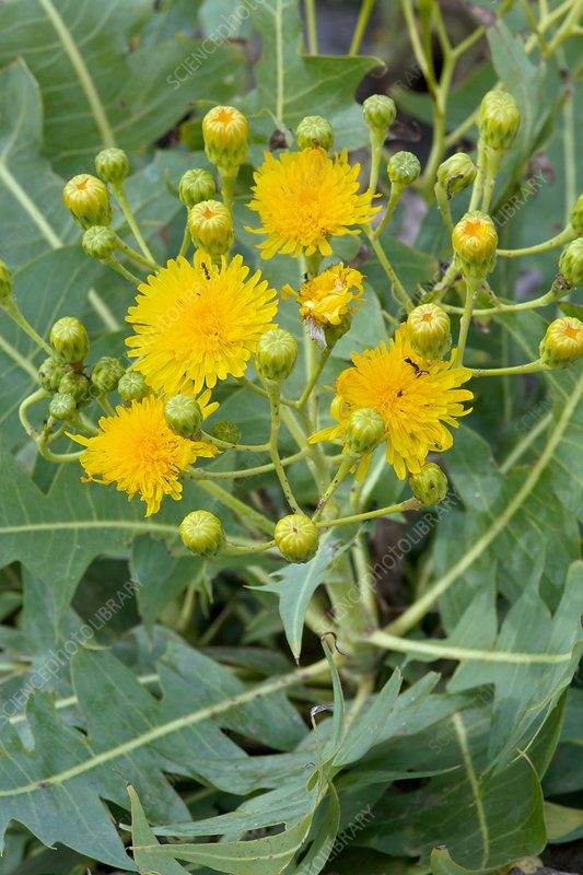 East Canary sow-thistle (Sonchus pinnatifidus)