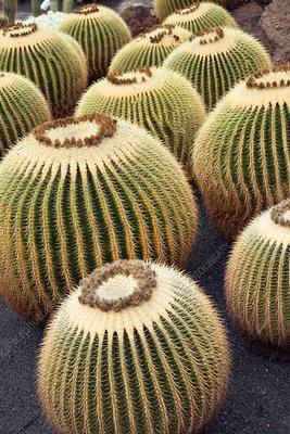 Giant barrel cactus (Echinocactus platyacanthus)