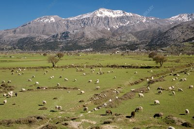 Sheep grazing on the Lasithi Plateau, Crete, Greece