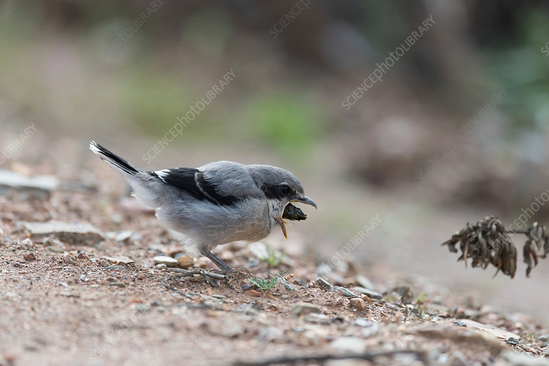 Great grey shrike feeding