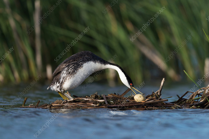 Western grebe with egg