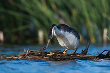 Western grebe on its nest